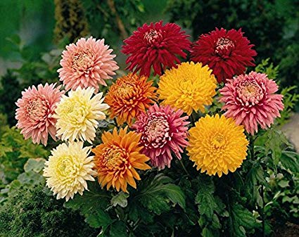 Chrysanthemum For Mandap Decorations