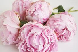 Blush Peonies For Marriage Decorations