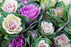 Brassica For Wedding Decorations
